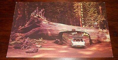 Vintage Postcard Drive Thru Tree Redwoods Ca Chevy Wagon