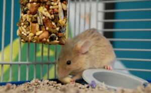"""Young Female Small & Furry - Mouse: """"Minnie Mousekewitz"""""""