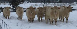 Purebred, Polled, Docile Charolais Bulls For Sale