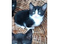 Kittens for sale Boy Black and white