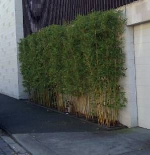 Screen Plants Bamboo Gracilis Stunning Tall Clumping Gumtree Australia Logan Area North Maclean 1063750668