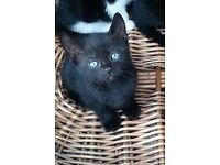 Black kitten for sale boy