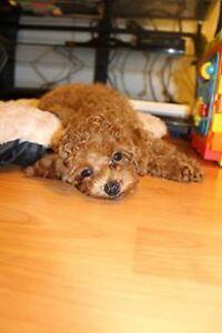 ~♡It's a boy! Dark red toy poodle ♡~
