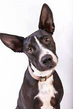 Adopt ZigZag 7mth Border Collie x North Ward Townsville City Preview