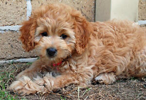 Wanted Havanese X Miniature Poodle