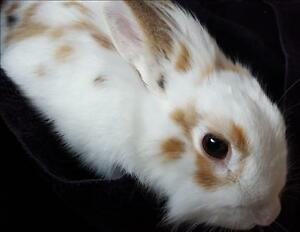 "Young Female Rabbit - Lionhead: ""Sunny"""