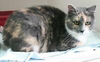 """Young Female Cat - Calico: """"Lucy"""" Ottawa Ottawa / Gatineau Area Preview"""
