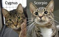 "Adult Male Cat - Tabby-Domestic Short Hair: ""Cygnus and Scorpio"""