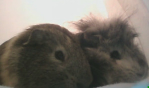 Two Guinea Pigs for rehoming ASAP!