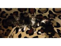 Beautiful Siberian x kittens