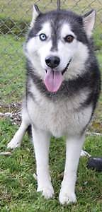Siberian Husky Female 7yrs in URGENT NEED OF HOME!!!! Campbelltown Campbelltown Area Preview