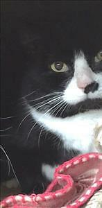 "Adult Male Cat - Domestic Short Hair: ""Domino"""