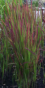 Gorgeous Japanese Blood Grass - $6 or 2 for $10