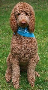 Looking for a standard poodle puppy