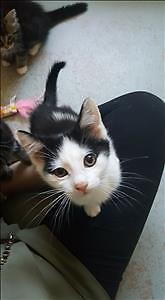 """Young Female Cat - Domestic Short Hair: """"Lia"""""""