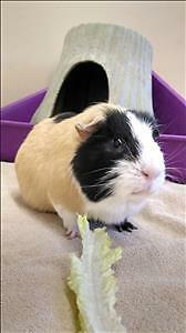 "Adult Male Small & Furry - Guinea Pig: ""Doc"""