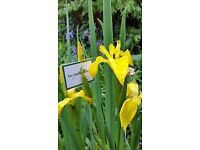 Yellow flag iris plants for your pond