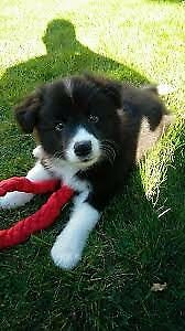 Wanted: WTB: Border Collie Puppy.