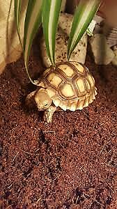 Baby Sulcata (3 day special price $325)