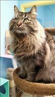 "Adult Male Cat - Domestic Long Hair: ""Marco"""