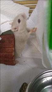 "Baby Female Small & Furry - Gerbil: ""Cheeselle"""