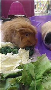"""Adult Male Small & Furry - Guinea Pig: """"Ginger"""""""