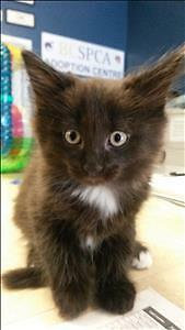 "Baby Male Cat - Domestic Medium Hair: ""Charlie"""