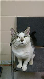 """Adult Male Cat - Domestic Short Hair: """"Shivers"""""""