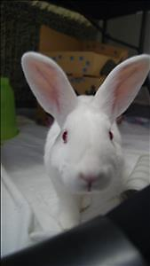 """Young Male Rabbit - New Zealand: """"Peter"""""""