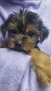 Yorkie Poo Puppy 8 Week Old London Ontario image 3