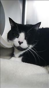 """Adult Male Cat - Domestic Short Hair: """"Lucky"""""""