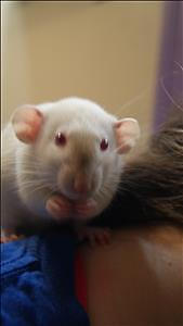 "Adult Male Small & Furry - Rat: ""Baloo"""