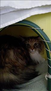 """Adult Female Cat - Domestic Medium Hair: """"Zoe"""""""