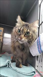 "Senior Female Cat - Domestic Medium Hair: ""Amber"""