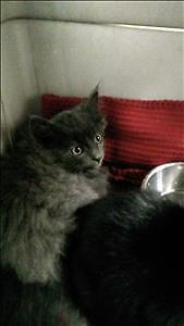 "Baby Male Cat - Domestic Short Hair: ""Boone"""