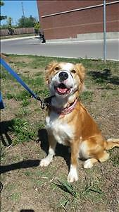 Female Dog - American Bulldog-Nova Scotia Duck-Tolling Retriever