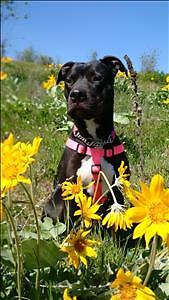 """Adult Female Dog - Pit Bull Terrier: """"Leelo *in Foster*"""""""