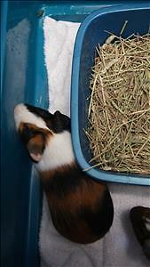 """Baby Male Small & Furry - Guinea Pig: """"Noble"""""""