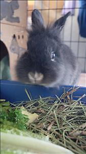 "Young Male Rabbit - Lionhead-Dutch: ""Gus"""