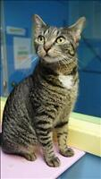 "Young Female Cat - Domestic Short Hair: ""Marj"""