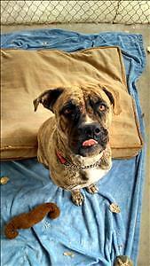 "Young Female Dog - Mastiff: ""Scully"""