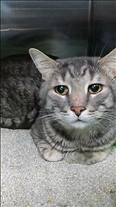"""Adult Male Cat - Domestic Short Hair: """"Benny"""""""