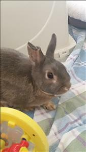 "Young Male Rabbit - Dwarf: ""Bugz *in Foster Care"""