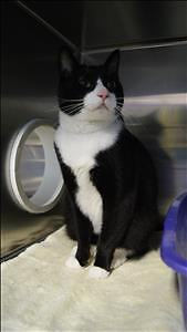 "Adult Male Cat - Domestic Short Hair: ""Major"""