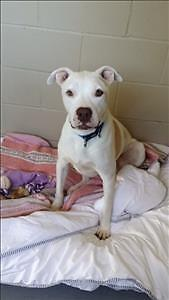 """Adult Male Dog - Pit Bull Terrier: """"Romeo"""""""