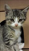 "Baby Male Cat - Domestic Short Hair: ""Merv 3 - On Hold"""