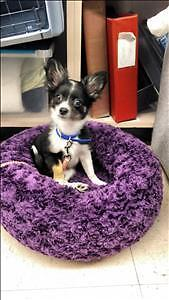 """Baby Female Dog - Chihuahua: """"Lillie Belle *In Foster*"""""""