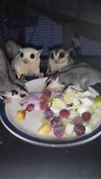 3 Sugar Glider Joeys available to approved homes