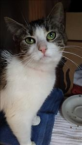 """Young Female Cat - Domestic Short Hair: """"Erin"""""""