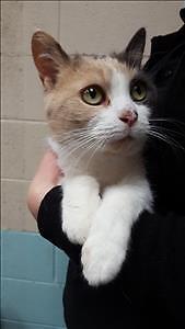 "Adult Female Cat - Domestic Short Hair: ""Penelope"""